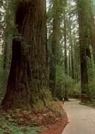 Ameryka Północna: sekwoje kalifornijskie, Redwood Park /Encyklopedia Internautica