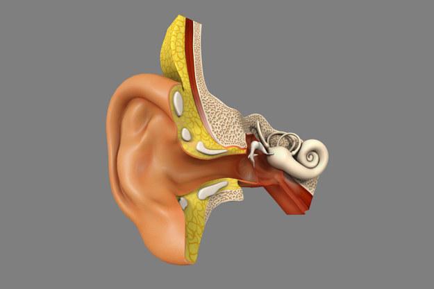 Amerykańscy naukowcy wydrukowali ucho, mięsień i kość /123RF/PICSEL