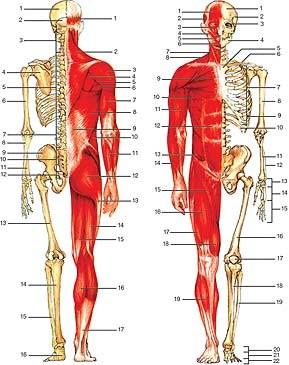 Anatomiczna budowa człowieka:Kości: 1. ciemieniowa, 2. potyliczna, 3. kręgi szyjne, 4. łopatka, /Encyklopedia Internautica