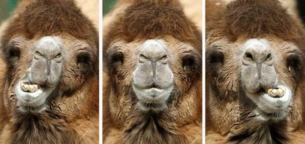 Każdy z wielbłądów rocznie emituje ok. 45 kg metanu, czyli równowartość tony dwutlenku węgla /AFP