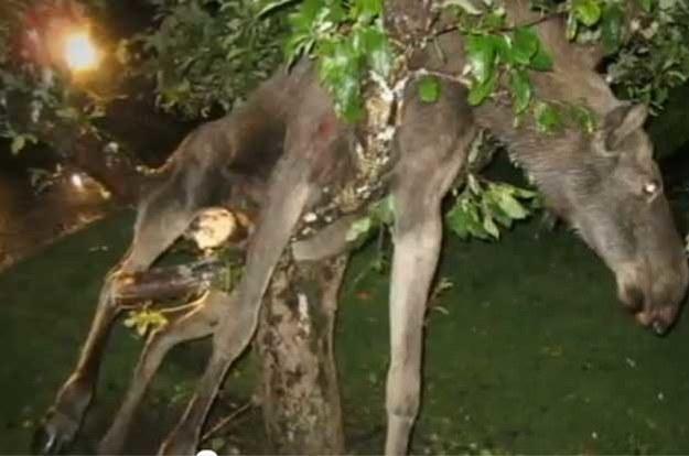 Pijany łoś na drzewie