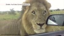 """""""Oko w oko"""" z lwem - przygoda na safari"""