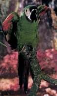 Ara zielono-czerwona z Ameryki Południowej /Encyklopedia Internautica