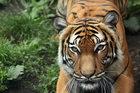 Atak na tygrysy z zoo. Poszukiwany mężczyzna zgłosił się na policję