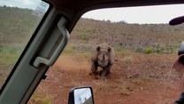 Atak nosorożca z zaskakującym finałem