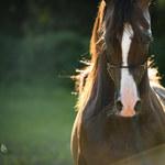 Aukcja koni arabskich po raz pierwszy w Małopolsce!