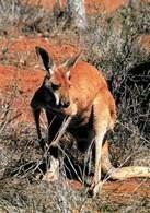 Australia: kangur /Encyklopedia Internautica