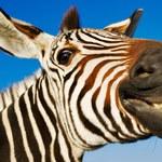 Austriak chciał nazywać się Zebra. Dostał na to zgodę od Trybunału Konstytucyjnego