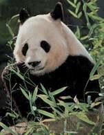 Azja: Panda /Encyklopedia Internautica