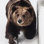 Babiogórski niedźwiedź nie śpi i buszuje w górach. Sfotografowano jego ślad
