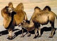 Baktrian, wielbłąd dwugarbny /Encyklopedia Internautica
