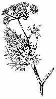 Baldaszkowate - szalej pospolity /Encyklopedia Internautica
