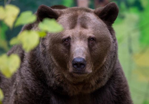Baloo to około 4-letni niedźwiedź (zdjęcie ilustracyjne) /AFP