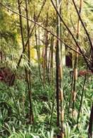 Bambus /Encyklopedia Internautica