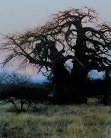 Baobab /Encyklopedia Internautica