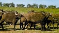 Bawoły, Park Narodowy Mikumi, Tanzania /Encyklopedia Internautica