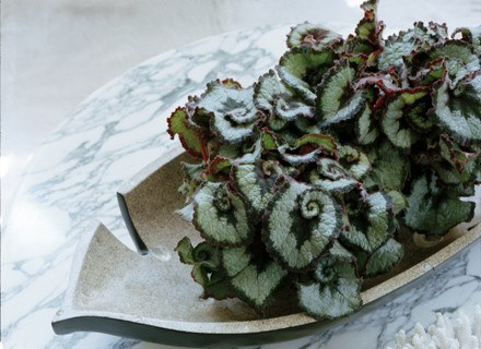 Begonia Rex 'Escargot' /materiały prasowe