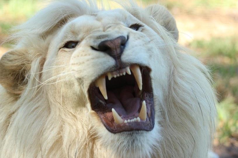 Białe lwy są jedną z największych atrakcji ZOO Safari w Borysewie /Pixabay.com