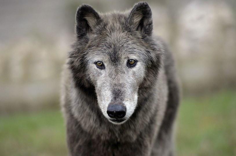 Białoruskim myśliwym udało się zastrzelić wilka który terroryzował całą wieś. /AFP