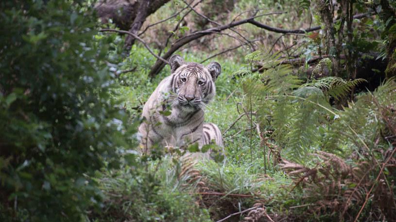 Biały tygrys uchwycony na wolności /Fot. Nilanjan Ray /materiały prasowe