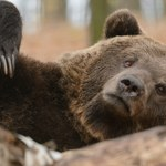 Bieszczady: Niedźwiedzica zaatakowała mężczyznę spacerującego po lesie