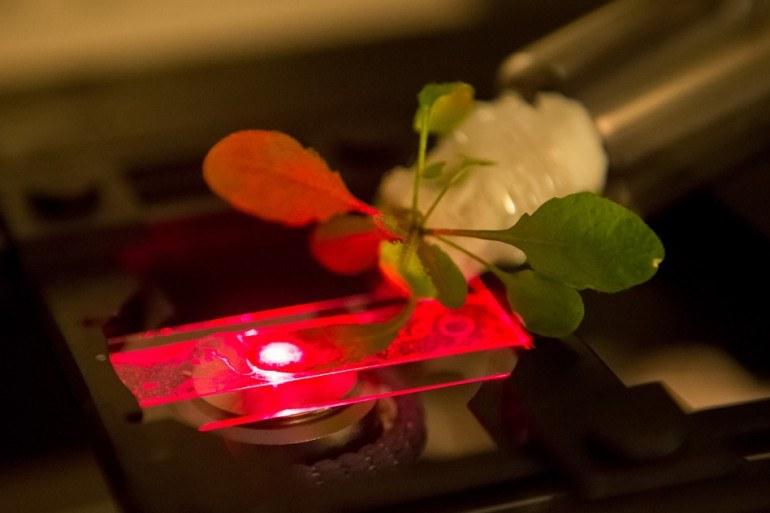 Bioniczne rośliny wkrótce odmienią nasze życie? Tu Arabidopsis thaliana /materiały prasowe