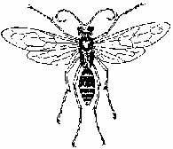 Błonkówki: żądłówka (Pepsis opulenta) /Encyklopedia Internautica