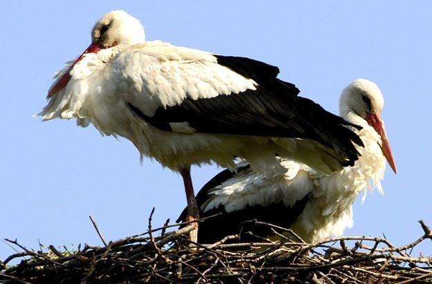 Bociany rzadko składają jaja w gniazdach usytuowanych bezpośrednio na ziemi /AFP