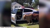 Brawurowa akcja policji. Złapali kucyka, który biegał po autostradzie