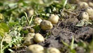 Brexit odbija się na farmach ziemniaków na Wyspach. Brakuje m.in. polskich pracowników