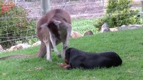Całuje, głaszcze. Kangur zakochany w psie!