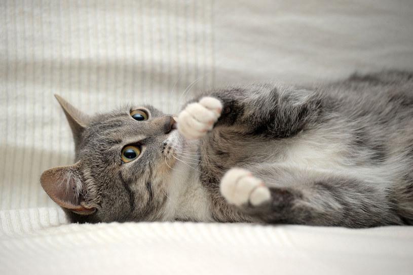 Chcesz obciąć kotu pazurki? Musisz wykazać się cierpliwością /123RF/PICSEL