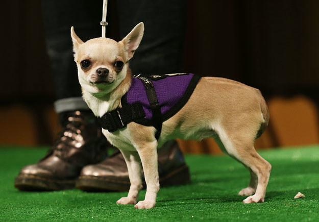 Chihuahua to jedne z najmniejszych psów na świecie fot. Mario Tama /AFP