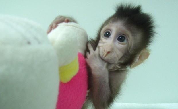 Chińczycy po raz pierwszy sklonowali małpy. Oto Zhong Zhong i Hua Hua