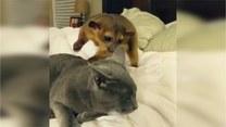 Ciekawski wikławiec kontra niewyspany kot