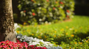 Co roku kwiatowy dywan