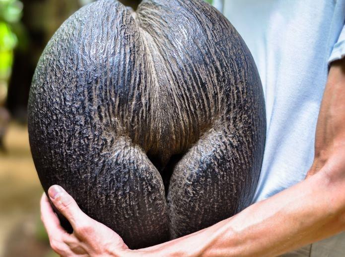 Coco de mer (dosłownie kokos morski) zwana także Lodoicją seszelską to rosnąca na Seszelach palma, która rodzi orzechy giganty /123RF/PICSEL