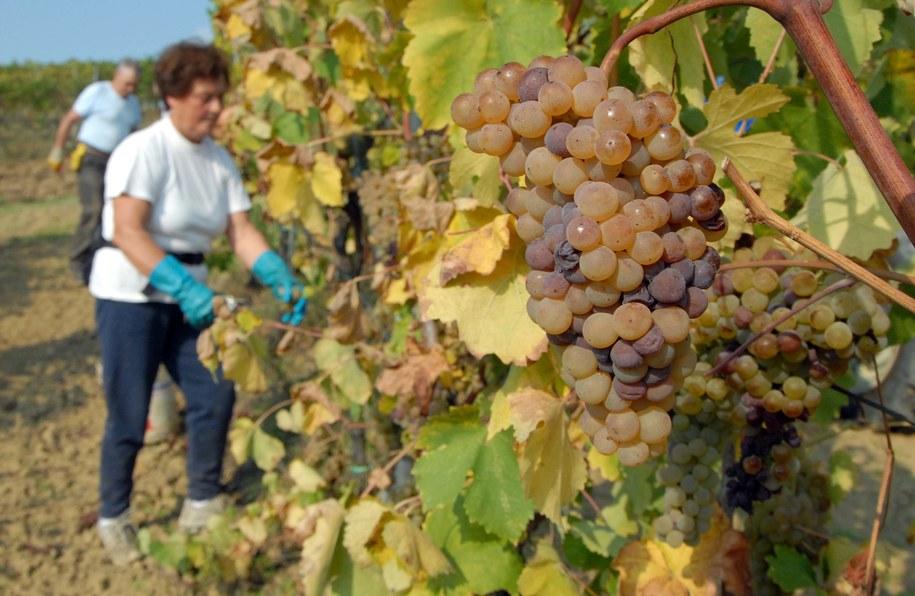 Coraz częściej dowiadujemy się, że sportowcy z południa Europy kupują stare zaniedbane winnice, by przywrócić im blask, a samemu tworzyć dobrej jakości wino - pisze na blogu Patryk Serwański (zdjęcie ilustracyjne) /Dariusz Delmanowicz    /PAP