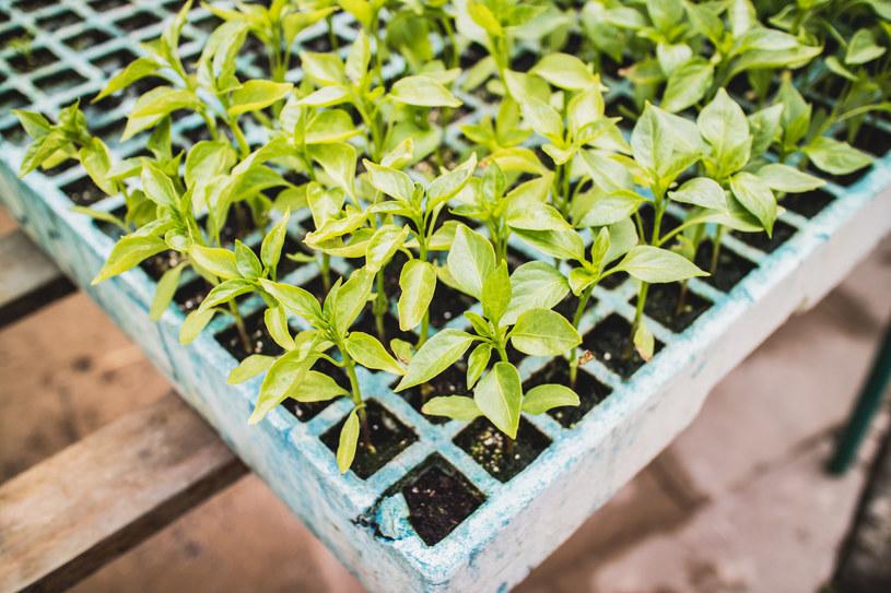Cynamon wspomoże wzrost i rozwój sadzonek /123RF/PICSEL