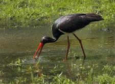 Czarne bociany odlatują do Afryki