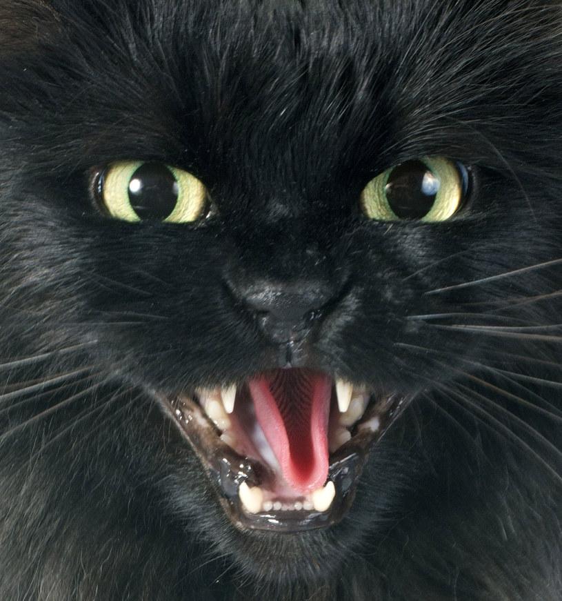 Czarny zły kot terroryzuje Bydgoszcz /©123RF/PICSEL