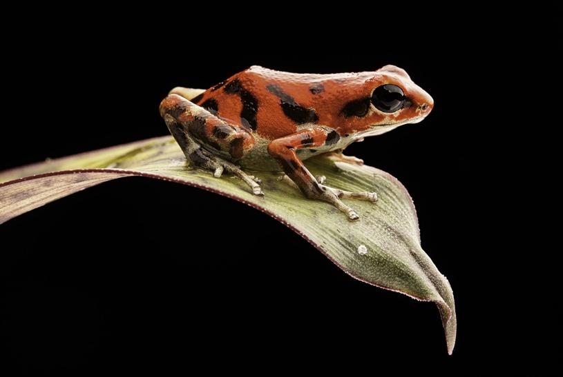 Czerwona żaba z wyspy Bastimentos /123RF/PICSEL