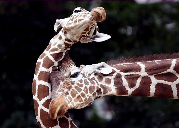 Cztery żyrafy opuszczą wkrótce Miejski Ogród Zoologiczny w Płocku /AFP