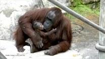 Czułości małego orangutana i mamy