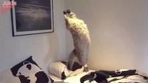 Czy koty potrafią latać? Najwyraźniej tak