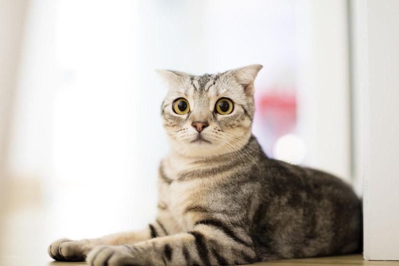 """Czy rozumiesz """"miny"""" swojego kota? /123RF/PICSEL"""