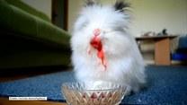 """Czy ten """"krwiożerczy"""" królik naprawdę jest taki straszny?"""