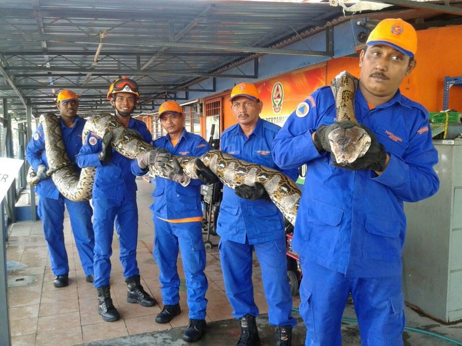 Czy to największy pyton na świecie? /MALAYSIA CIVIL DEFENCE FORCE  /PAP/EPA