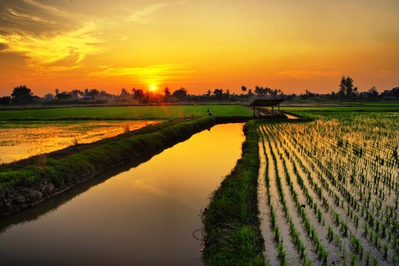 Czy w Dubaju wkrótce pojawią się pola ryżowe? /123RF/PICSEL