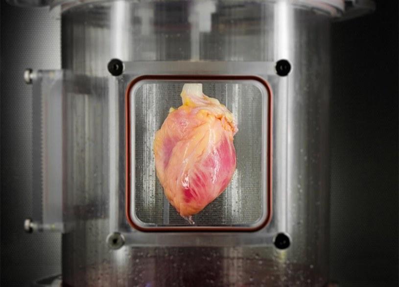 Czy w końcu uda się wyhodować funkcjonalne serce z laboratorium? /materiały prasowe
